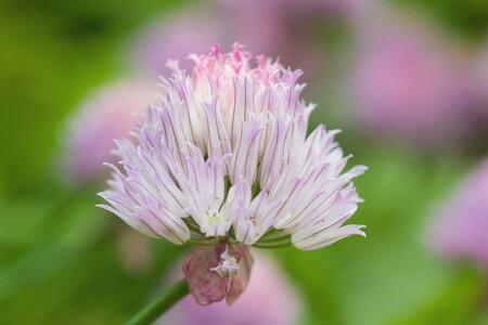 bieslookbloem - bol bieslook 14-6-2013.jpg - foto door inky-m op 29-11-2013 - deze foto bevat: roze, macro, bloem, zomer, voorjaar, bieslook