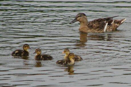 moeder eend met haar kleintjes