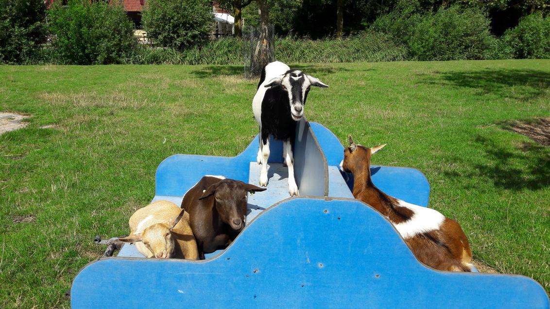 groepsselfie - chillen in de warme zomer zon - foto door RolandvanTol op 27-02-2021 - deze foto bevat: groep, zon, dieren, huisdier, geit, kar, warm, chillen, dwerggeit