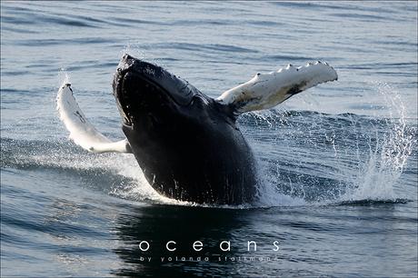 Oceans: Breaching Whale