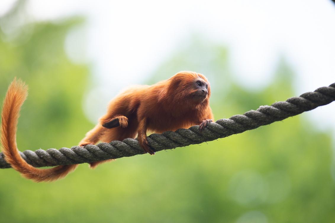 Speed - Heerlijk dagje Apenheul vandaag (wel erg druk...) Zeer bewegelijke onderwerpen, veel verstorende voor en achtergronden (bladeren, personen..) Ik denk - foto door RBvandaag op 10-05-2018 - deze foto bevat: dierentuin, dieren, aap