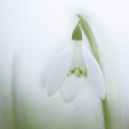 Sneeuwklokje - Sneeuwklokje - foto door tienz op 02-03-2021 - deze foto bevat: groen, macro, bloem, lente, licht