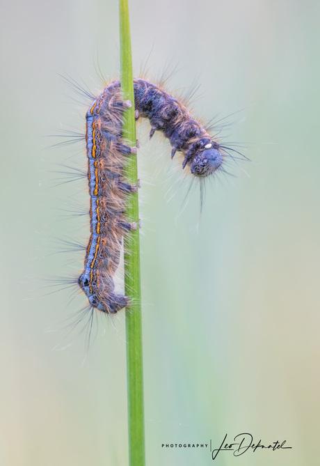 Ringelrups (Malacosoma neustria)