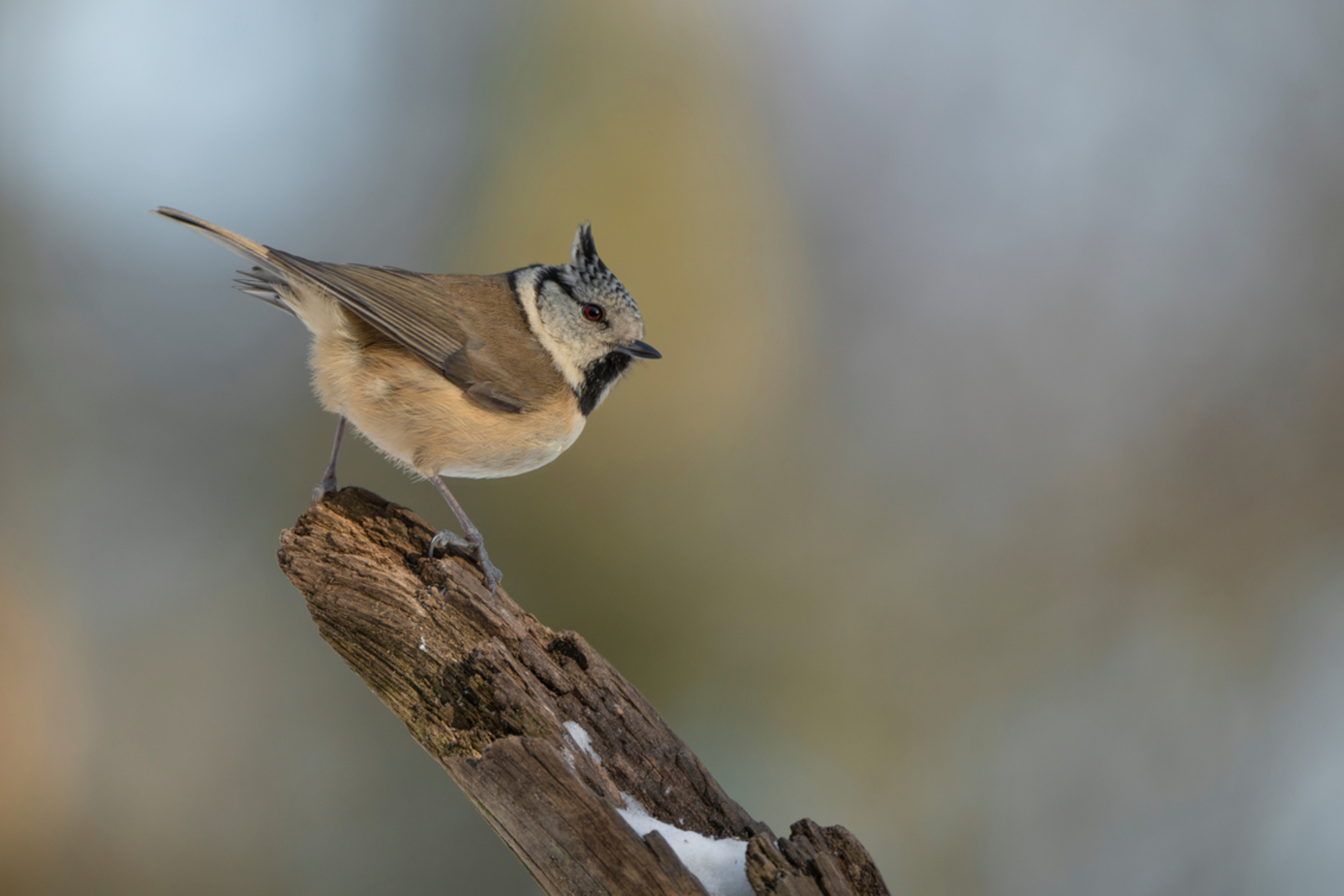About to.. - Kuifmees dat op het punt staat om weg te vliegen - foto door Erik1967 op 02-03-2021 - deze foto bevat: dieren, vogel, kuifmees - Deze foto mag gebruikt worden in een Zoom.nl publicatie