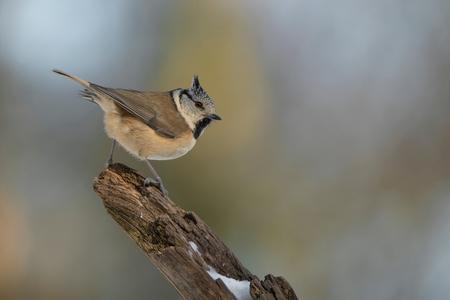 About to.. - Kuifmees dat op het punt staat om weg te vliegen - foto door Erik1967 op 02-03-2021 - deze foto bevat: dieren, vogel, kuifmees