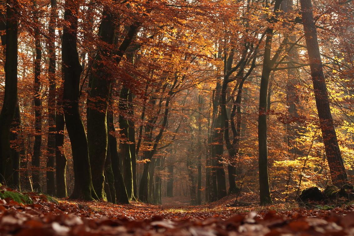 Magisch herfstbos - Magisch herfstbos met de typische warme herfstkleuren. - foto door Jillisshots op 22-12-2019 - deze foto bevat: boom, natuur, licht, herfst, blad, bos, nederland, herfstbos, onbewerkt