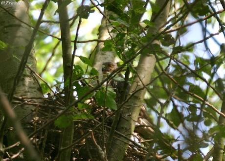 Sperwer op nest