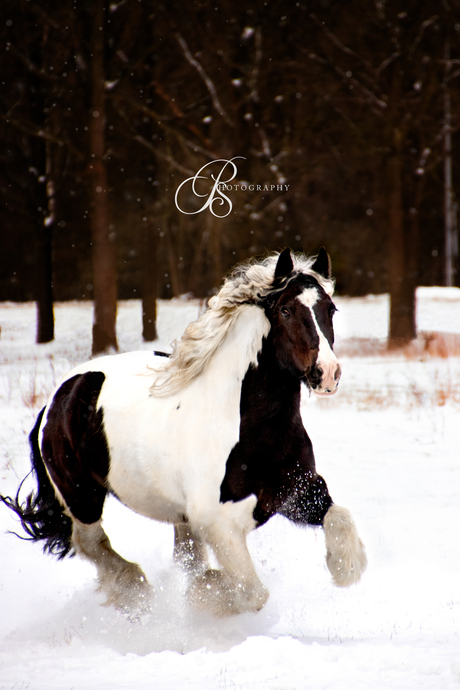 Tinker in galop
