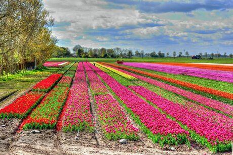 Bloemen velden noord holland