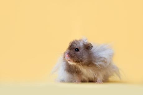 Zonnige hamster