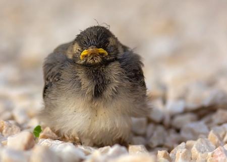 Goede morgen.... - Een nestje kwikstaartjes in de tuin en dan op een dag staan ze onverwacht voor je in het grind. Toch maar even vastleggen. Deze met ochtend humeur  - foto door HenkPijnappels op 15-05-2019 - deze foto bevat: natuur, dieren, jong, kwikstaartje, nieuw leven