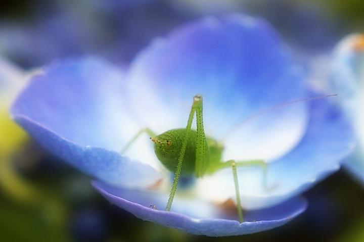 Sabelsprinkhaan - Macroopname van een sabelsprinkhaan, met omgekeerde Pentax smc 50mm - foto door gdtobias op 30-07-2009 - deze foto bevat: macro, natuur, vliegen, zomer, krekel, closeup, pentax