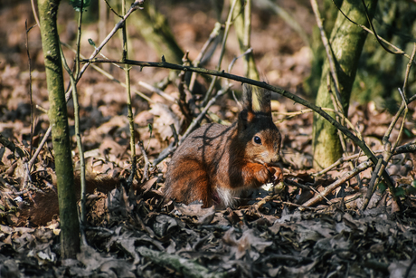 knagende eekhoorn
