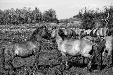paarden1 kl