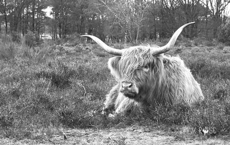 Grote vriend - Grote vriend...  Een indrukwekkend stuk vee van de Westerheide in Laren. - foto door PinkRosePictures op 19-03-2021 - deze foto bevat: natuur, koe, dieren, heide, hooglander, schotsehooglander, vee, runderen, westerheide