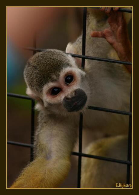er zat een aapje...