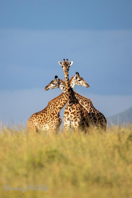 Drie hoofdige giraf