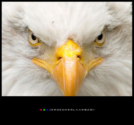 American Bald Eagle 2