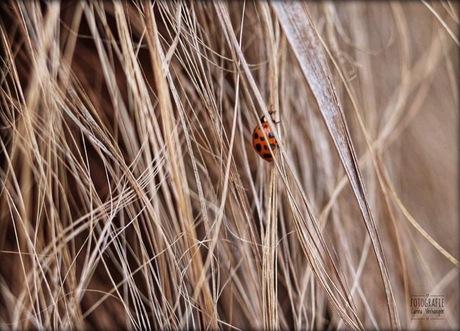 Lieveheersbeestje