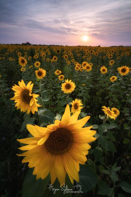 Zonnebloemen in de avondzon