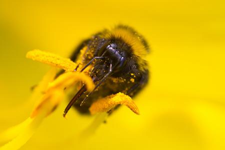 Hommel... - ...in een daglelie.  Bedankt voor de reacties op de 'groene schoonheid' :-)   Groet'n, Carolina - foto door brinkbeest op 30-07-2013 - deze foto bevat: macro, hommel, geel, tuin, zomer, stuifmeel, daglelie