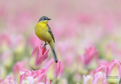 Gele Kwikstaart in tulpenveld
