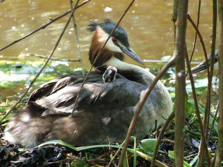 Onder moeders veren