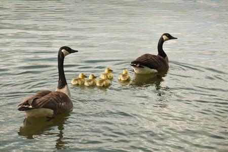 De familie Gans - Wat een aardige familie denk je dan, en wat een vertederende donsjes zwemmen daar tussen ma en pa. Enig opzoekwerk op het internet levert evenwel hee - foto door kosmopol op 02-05-2012 - deze foto bevat: water, gans, jonkies, kosmopol