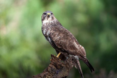 Buizerd birds of prey