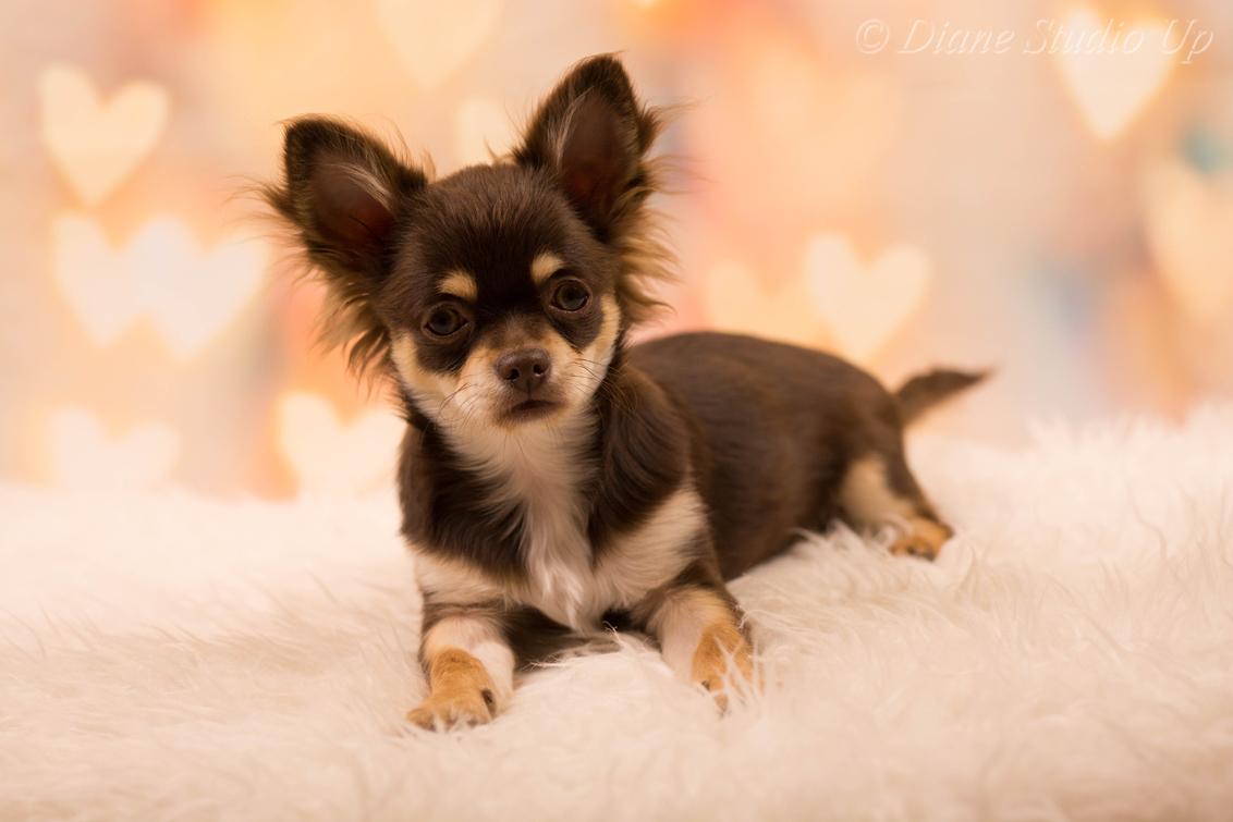Klein Valentijn - Een beetje te laat, maar iedereen alsnog een fijne Valentijn namens ons! - foto door DianeStudioUp op 19-02-2019 - deze foto bevat: bull, bulldog, hond, honden, franse, herder, up, nikon, studio, hondje, puppy, mix, pup, shih, chihuahua, herdershond, mechelse, tzu, kruising, mechelaar, diane, branco, chi, tervuerense, shihtzu, rhodi, D5200, kyuubi