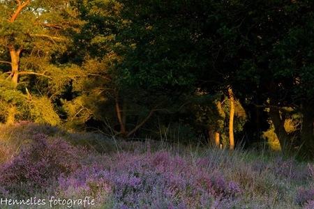 Lichtval van ondergaande zon - Gastersheide bij avondlicht - foto door hennelies op 20-08-2016 - deze foto bevat: heide, bomen
