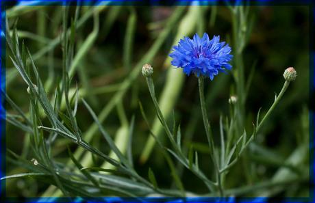 En....korenbloemen blauw