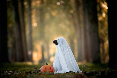Ready for Halloween - Ook mijn Spookie is klaar voor Halloween!  Gelukkig geen spookie om bang van te worden. Ze is werkelijk de liefste hond ooit! - foto door BiancadH op 29-10-2018 - deze foto bevat: herfst, dieren, huisdier, bos, hond, spook, halloween