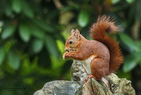 Eekhoorntje op boomstronk