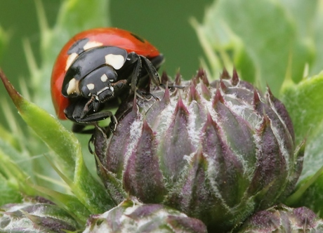 7stippelig Lieveheersbeestje - Coccinella septempunctata
