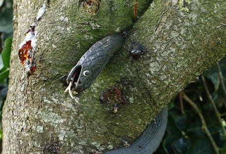 Prunus wurgt slang.