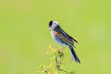 Rietgors - - - foto door GerardvO op 30-01-2021 - deze foto bevat: natuur, vogel