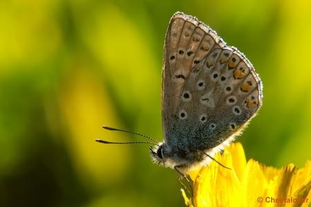Blauwtje in tegenlicht, Appelzak 2012 - Met dit blauwtje ben ik wel even bezig geweest om de belichting goed te krijgen. De achtergrond vind ik wat minder maar het licht schijnt zo mooi doo - foto door cheetalover op 30-08-2012 - deze foto bevat: vlinder, blauwtje, appelzak