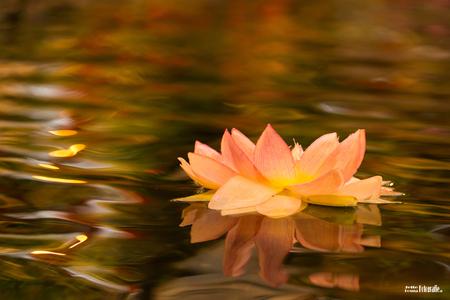 Herfstkleuren - - - foto door jjbosma op 26-10-2017 - deze foto bevat: roze, macro, bloem, water, bruin, licht, oranje, herfst, bokeh