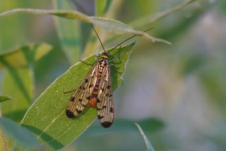 Schorpioenvlieg - Vanavond dit insectje in mijn tuin kunnen vastleggen, maar kan er geen naam bij plakken, kent iemand dit diertje??? - foto door diethe op 19-04-2009 - deze foto bevat: macro, natuur, bij, vlinder, vlieg, schorpioenvlieg, dieren, mot, insect