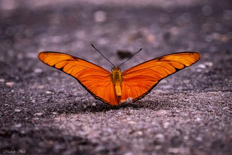Oranje passiebloemvlinder