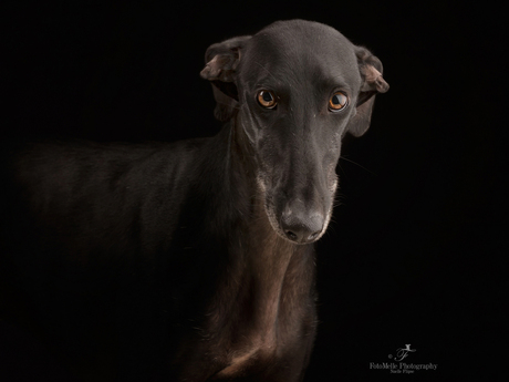 Look into the eyes of a sighthound
