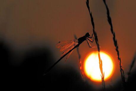 Libelle met tegenlicht !
