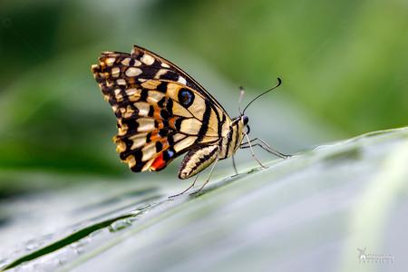 Vlinders aan de Vliet - Limoenvlinder, zo wordt de Papilio demoleus ook wel genoemd. Dit is niet vanwege zijn vleugelkleur, maar vanwege zijn waardplant: de limoenboom.  I - foto door amsterdamned_zoom op 06-10-2020 - deze foto bevat: macro, vlinder, holland, nederland, leidschendam, zuid-holland, limoenvlinder, vlinders aan de vliet, Zuid Holland, Papilio demoleus