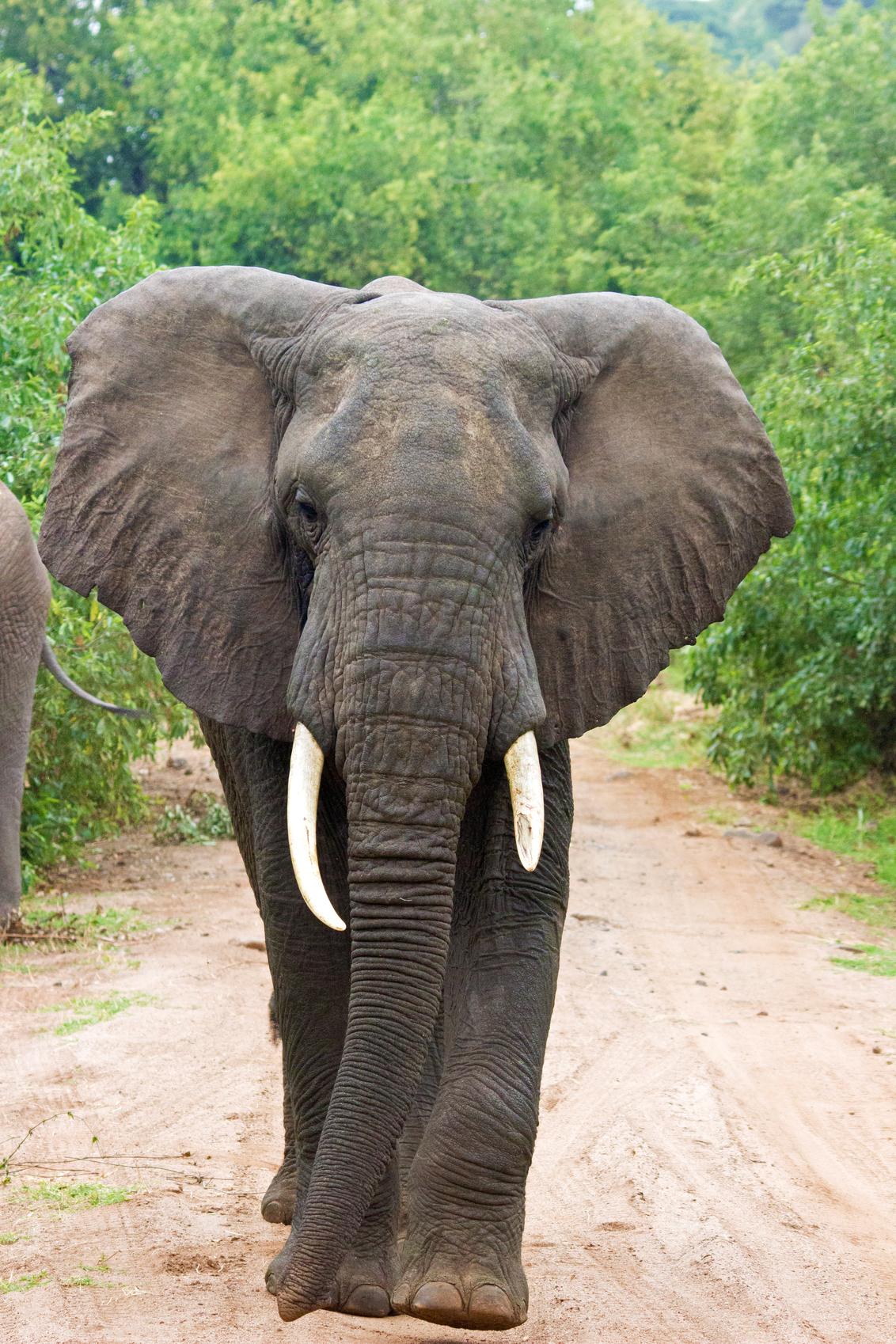 Olifant op de weg - - - foto door marc_v_o op 19-02-2017 - deze foto bevat: natuur, dieren, safari, olifant, afrika