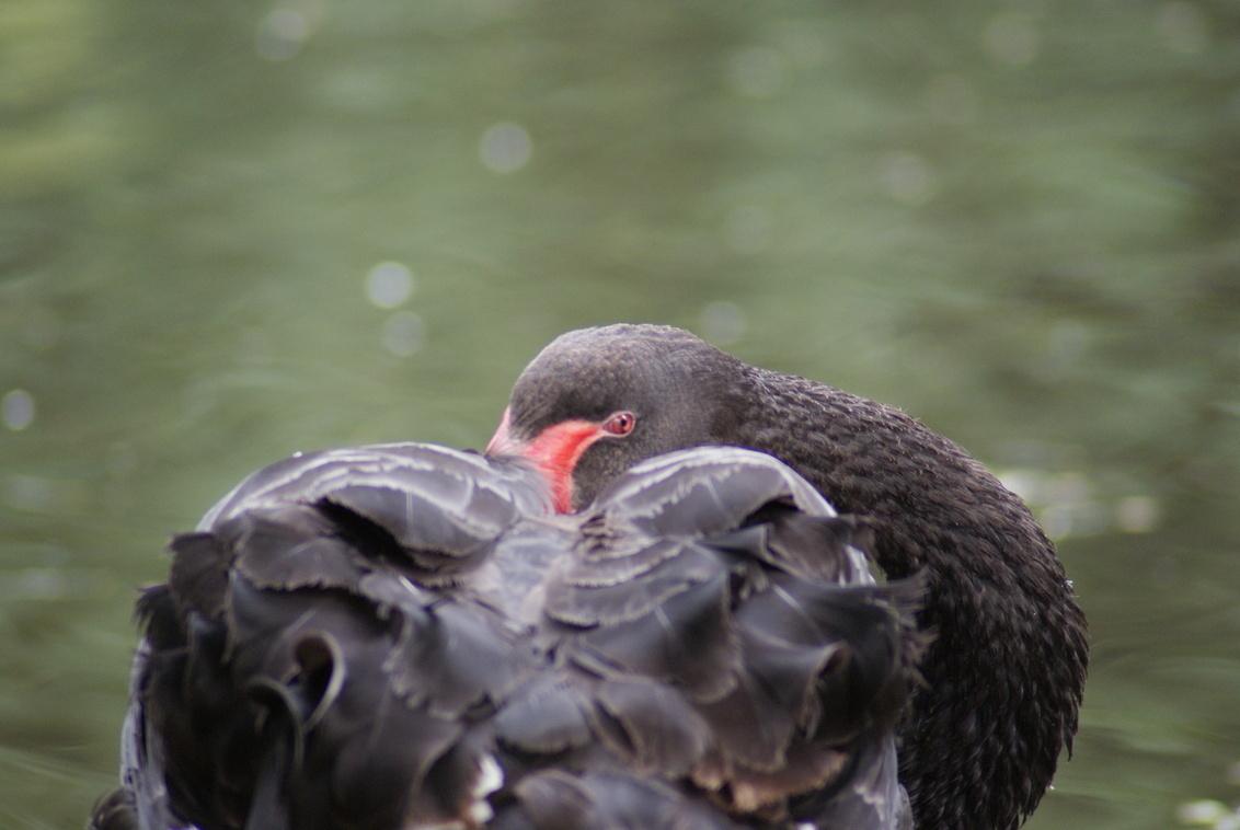 Ik zie je wel! - - - foto door TrudyH op 15-05-2009 - deze foto bevat: natuur, vogels, zwart, dieren, vogel, zwaan, zwanen, trudyh