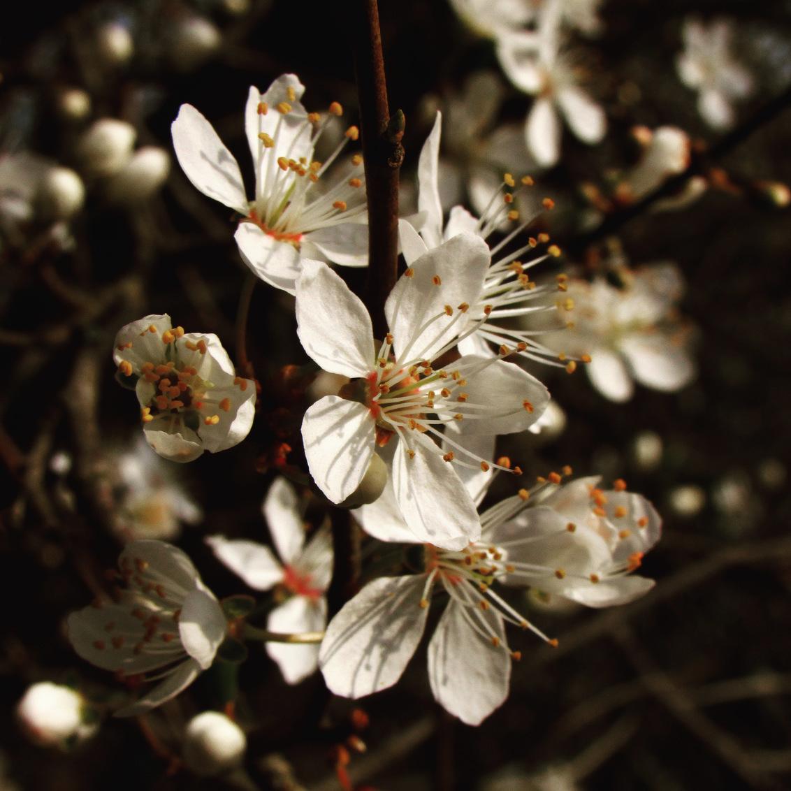 1D8D091A-F426-4BE8-920F-73EC2B94DBEC - Prunus cerasifera - foto door AnnaMasur op 09-03-2021 - deze foto bevat: macro, boom, bloem, lente, natuur, licht, prunus