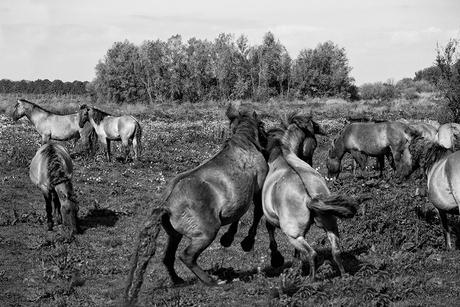 Paarden2 kl