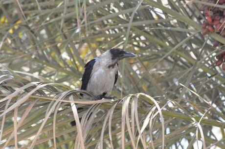 Egyptische Vogel