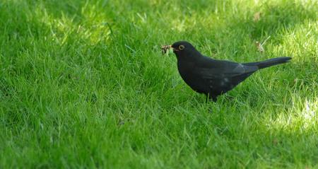 Met de mond vol..... - - - foto door mvn01 op 24-06-2009 - deze foto bevat: merel, vogel
